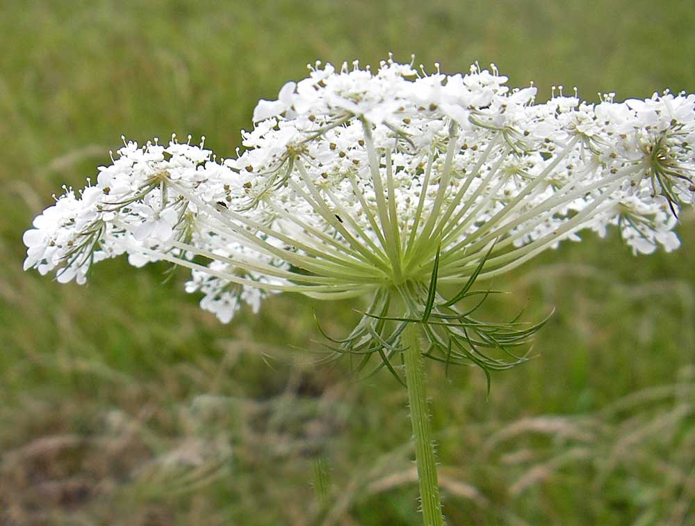 Botanical Terms: umbel, involucre
